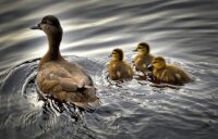 Duck Feathers May Hold the Key to Make Ships a Lot More Fuel Efficient